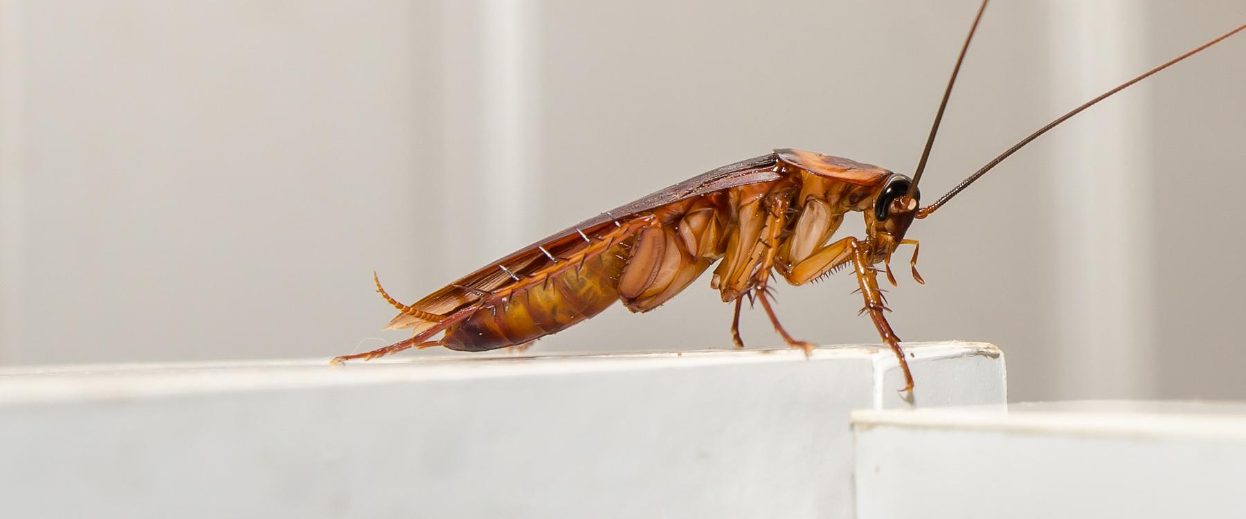 Quel Produit Pour Tuer Les Blattes comment exterminer les coquerelles? | caa-québec habitation