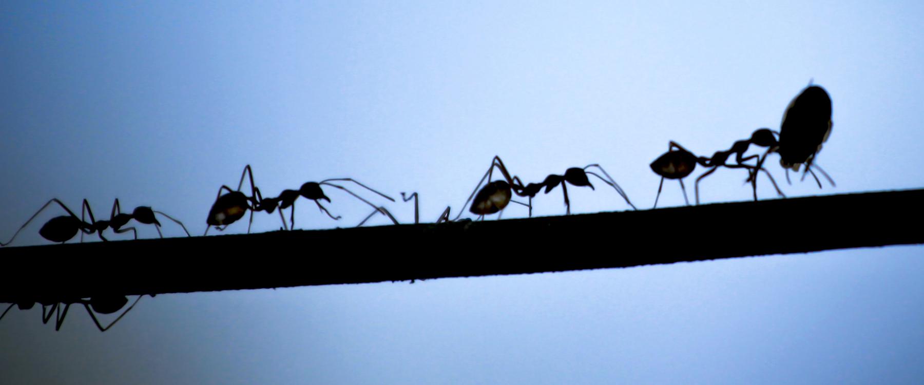 Grosses Fourmis Noires Dans Le Jardin fourmi charpentière: comment l'exterminer | caa-québec