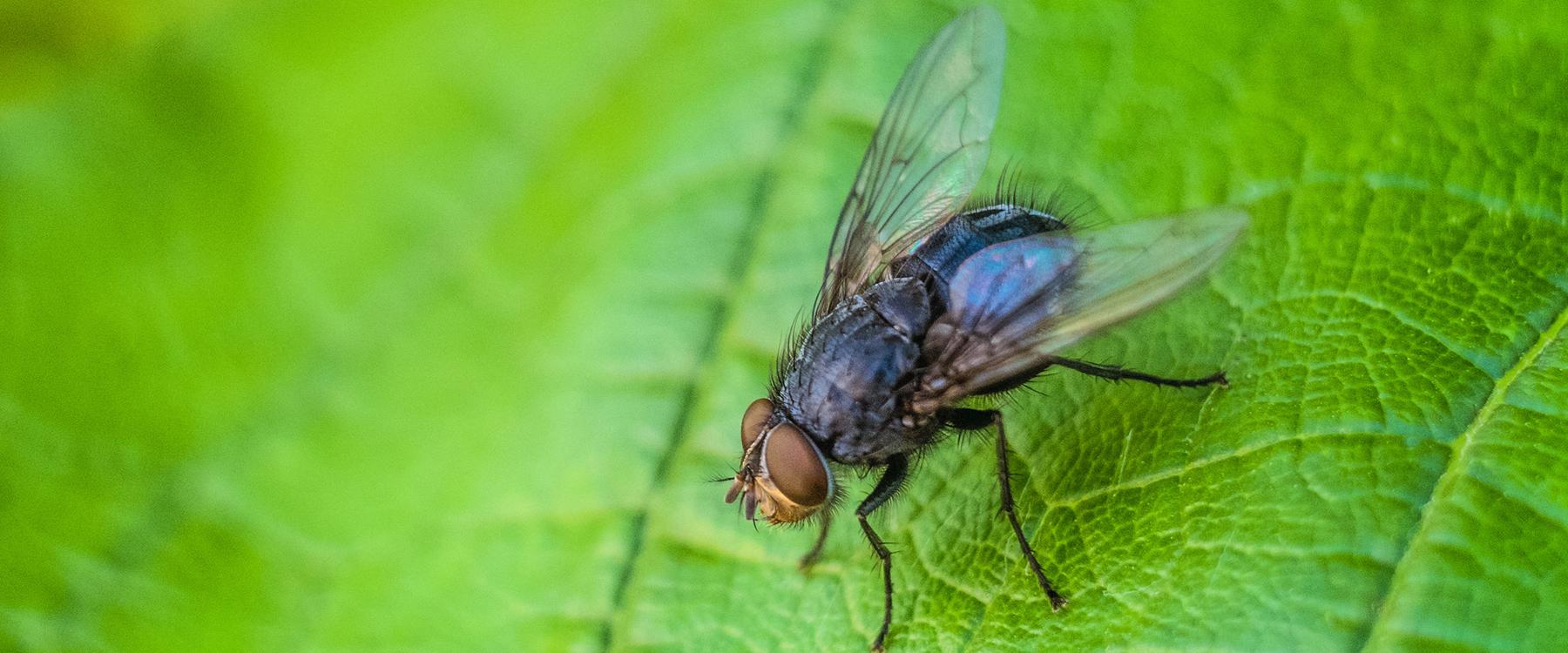 Comment Éloigner Les Mouches À L Extérieur les mouches: quoi faire pour s'en débarrasser | caa-québec