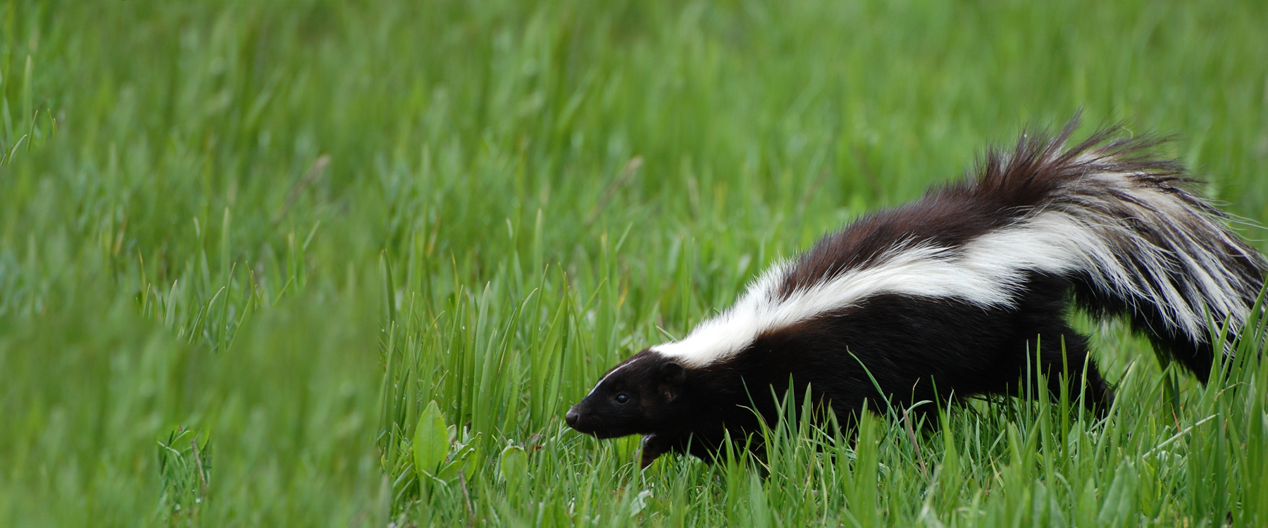 How To Remove A Skunk From Your Property Caa Quebec