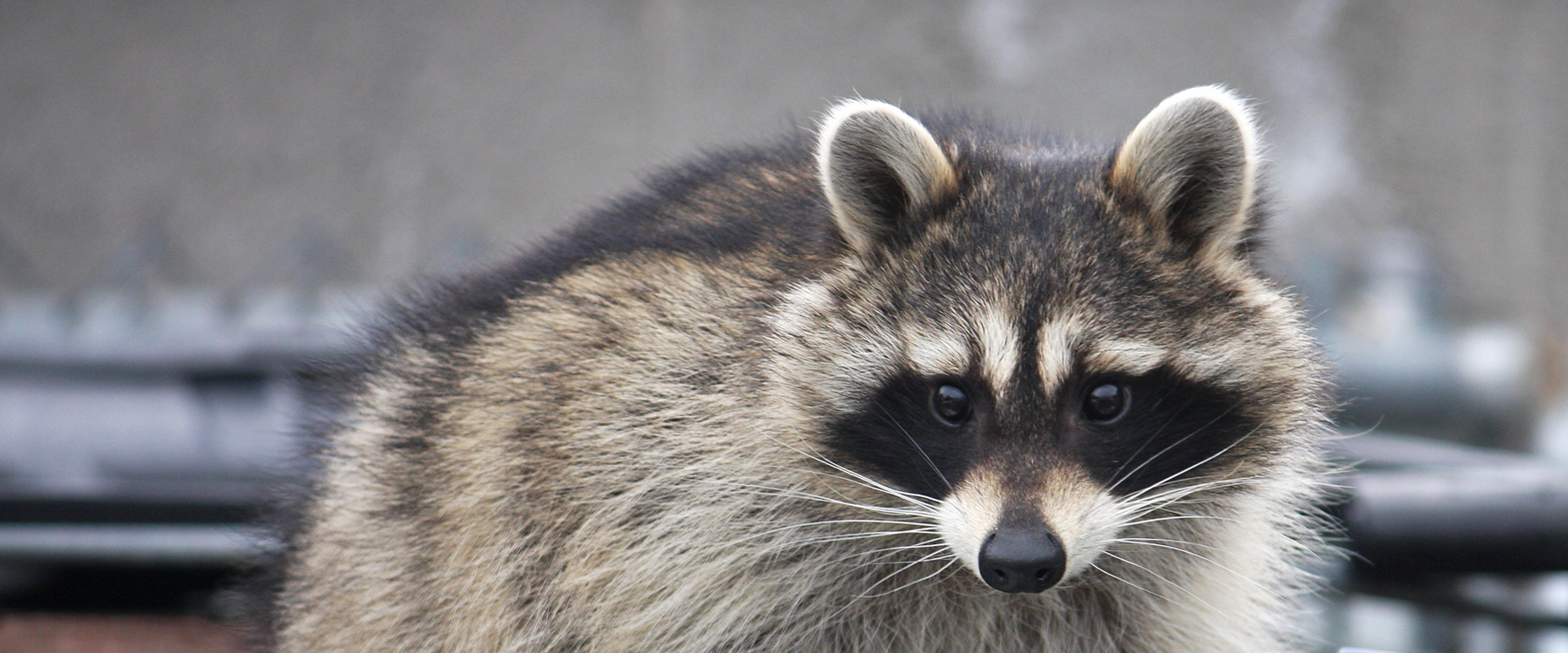 How to keep raccoons away from your house | CAA-Quebec Raccoon Under Mobile Home on retirement home, websites for iowa modular home, sheetrock installation home,
