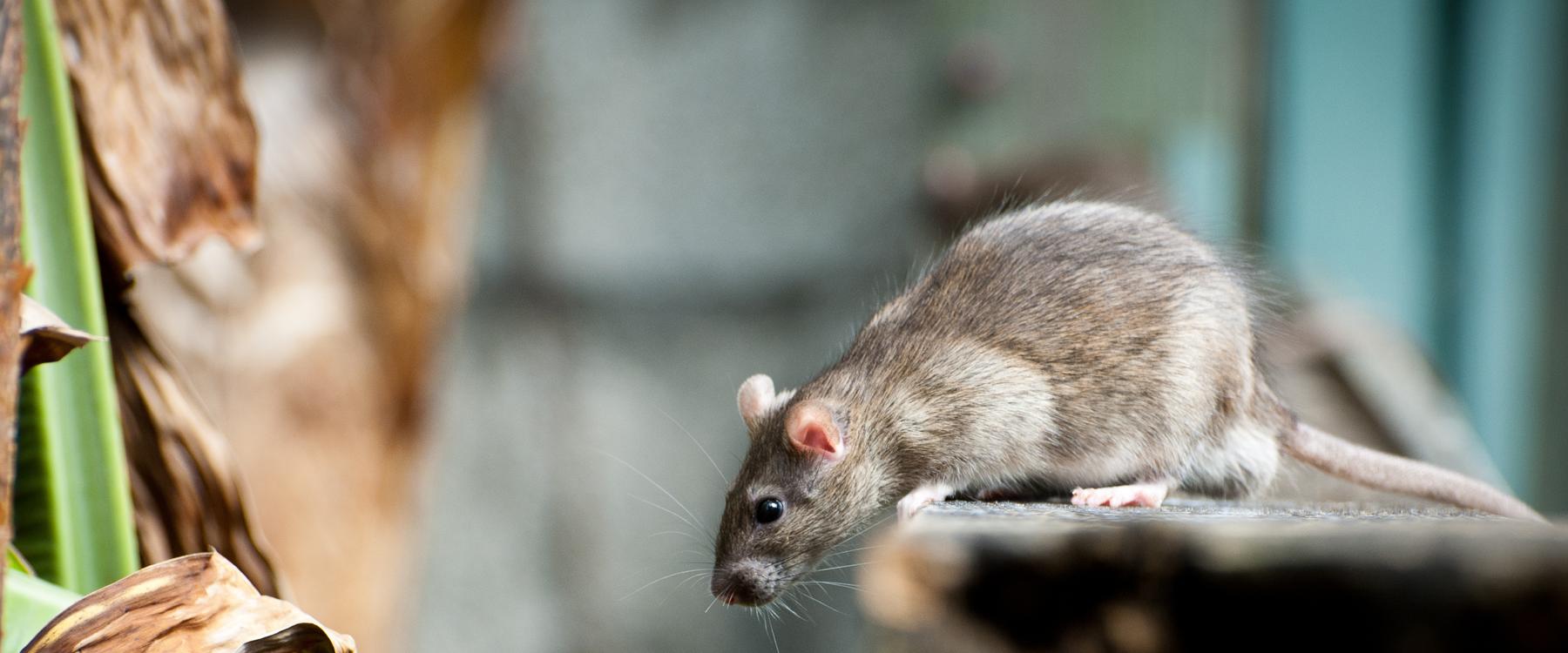 Souris Dans Les Murs Comment Faire comment se débarrasser des souris et des rats | caa-québec